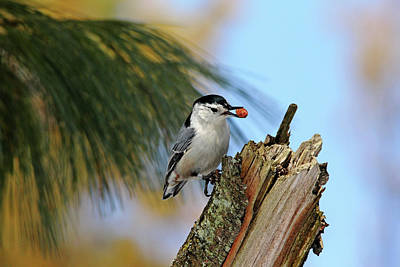 Photograph - Nutty Nuthatch by Debbie Oppermann