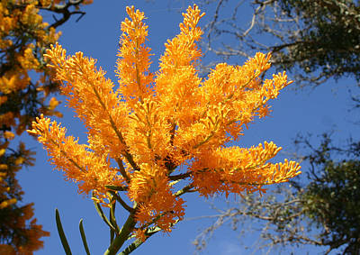 Photograph - Nuytsia Floribunda by Tony Brown
