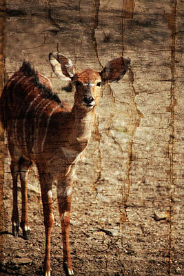 Photograph - Nyala Art by Karol Livote