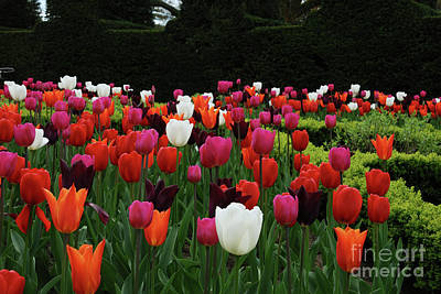 Photograph - Nymans Tulips by Richard Gibb