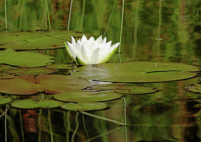 Photograph - Nymphaea Alba by Debbie Oppermann