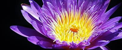 Photograph - Nymphaea 'director George T. Moore' by Bruce Bley