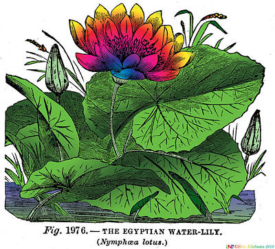 Nymphaea Art Print by Eric Edelman
