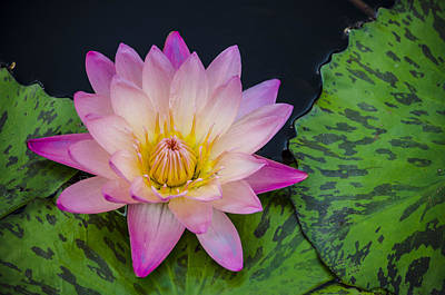 Photograph - Nymphaea Hot Pink Water Lily by Deborah Smolinske