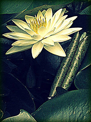 Nymphaea Art Print by Jessica Brawley
