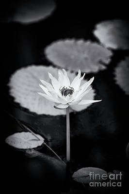 Photograph - Nymphaea 'kews Kabuki' by Tim Gainey