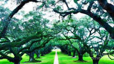 Photograph - Oak Alley by Raymond Earley