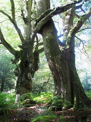 Oak And Beech Embrace Art Print