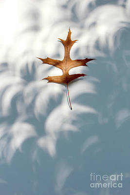 Photograph - Solar Eclipse Crescents Over Oak Leaf by Adam Long