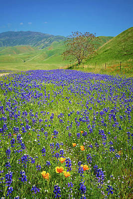 Photograph - Oak And Wildflowers At Tejon Ranch by Lynn Bauer
