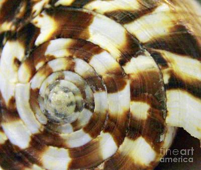 Photograph - Oak Cone Shell by Jennifer Bright