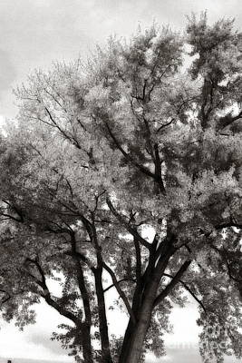 Photograph - Oak In Autumn 2 Black And White by Angela Rath