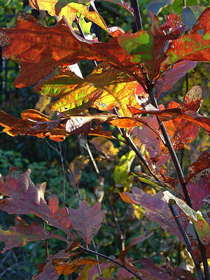 Photograph - Oak In Autumn by Terrance De Pietro