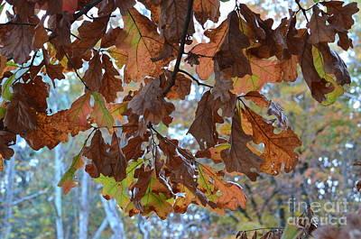 Photograph - Oak Leaf Canopy by Maria Urso