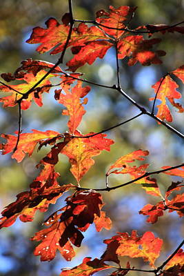 Oak Leaf Cluster Art Print
