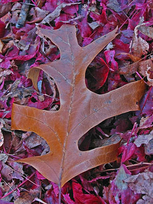 Photograph - Oak Leaf by Juergen Roth