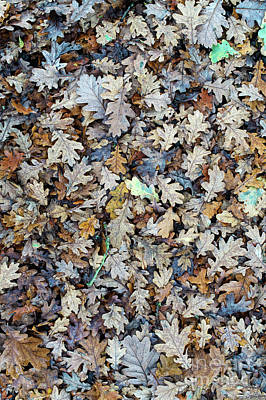 Photograph - Oak Leaf Litter by Tim Gainey