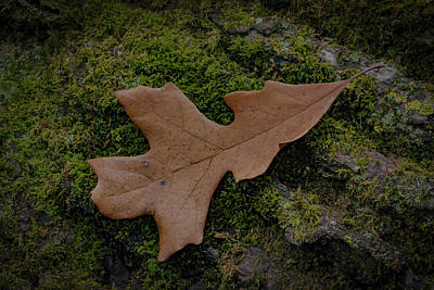 Photograph - Oak Leaf Moss by Ray Congrove