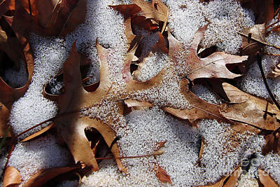 Photograph - Oak Leaf Snow 2890 by Captain Debbie Ritter