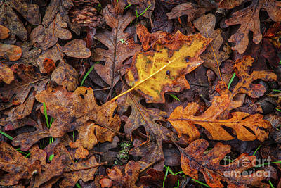 Photograph - Oak Leafs by Mitch Shindelbower