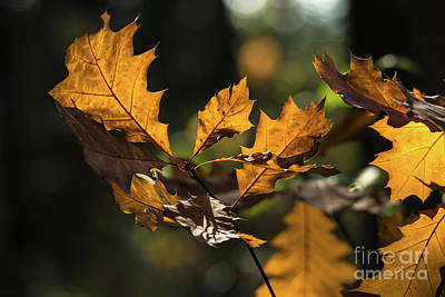 Photograph - Oak Leaves In The Wind by Cheryl Baxter