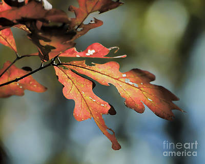 Photograph - Oak Leaves by Kerri Farley