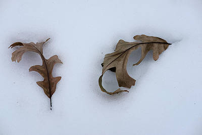 Photograph - Oak Leaves by Monte Stevens
