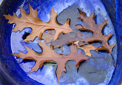Photograph - Oak Leaves On Blue by Barbara  White