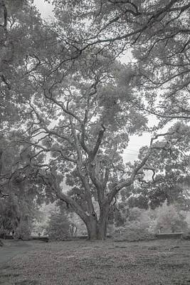 Photograph - Filoli Oak  by Patricia Dennis