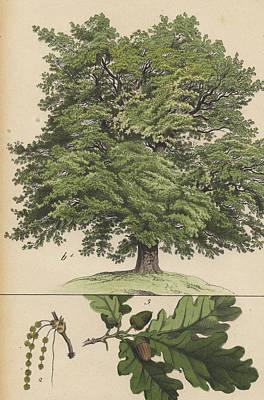Oak Tree And Acorns Art Print