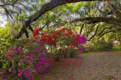 Photograph - Oak Tree Azaleas by Ken Barrett
