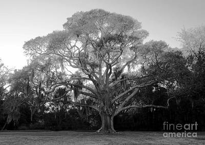 Oak Tree Art Print by David Lee Thompson