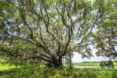 Photograph - Oak Tree In Botany Bay Plantation  by Michael Ver Sprill