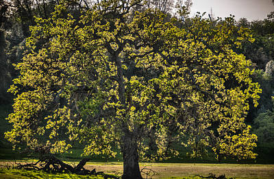 Photograph - Oak Tree New Green Leaves by Connie Cooper-Edwards