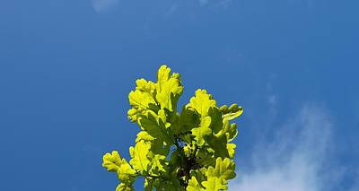 Photograph - Oak Tree Spring Leaves by Richard Brookes