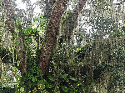 Oak Photograph - Oak Tree With Spanish Moss by Aimee L Maher Photography and Art Visit ALMGallerydotcom