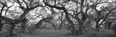 Bare Trees Photograph - Oak Trees In A Forest, Lake Kissimmee by Panoramic Images