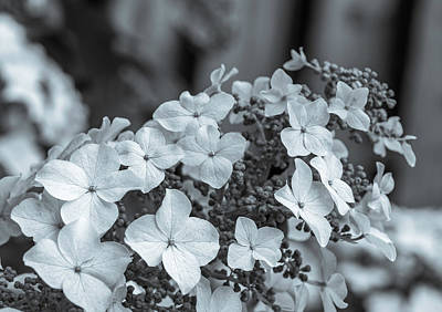 Photograph - Oakleaf Hydrangea Flora Bw by Keith Smith