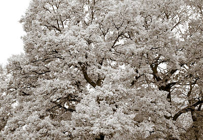 Country Side Photograph - Oaks by Frank Tschakert