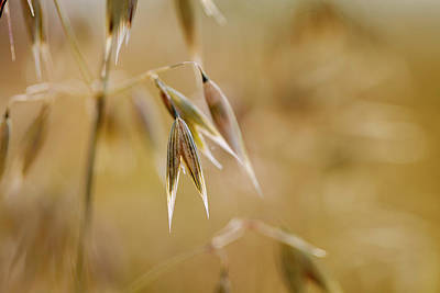 Cornfields Photograph - Summer Oat by Nailia Schwarz