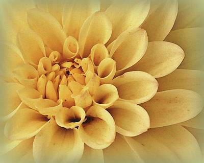 Neal Photograph - Oatmeal Dahlia by Amy Neal