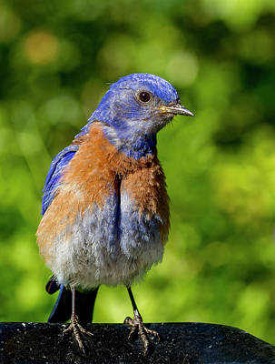Photograph - Obese Bluebird by Jean Noren