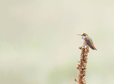 Photograph - Observant Rufous  by Ruth Jolly