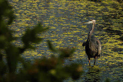 Photograph - Observations Of A Heron by Laddie Halupa
