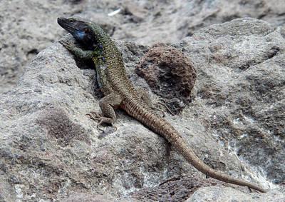 Photograph - Observer - Tenerife Lizard - Gallotia Galloti by Elena Schaelike