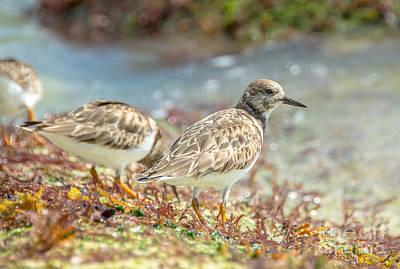 Photograph - Ocean Plover by Cheryl Baxter