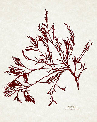 Mixed Media - Ocean Seaweed Botanical Art Cystoseira Foeniculacea by Christina Rollo