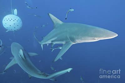 Frenzy Photograph - Oceanic Blacktip Sharks Fighting by Mathieu Meur