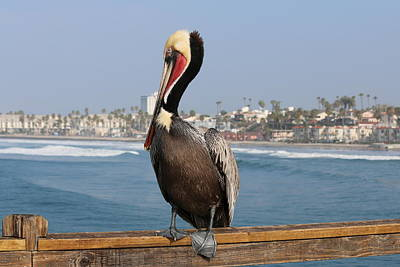 Photograph - Oceanside Pelican - 2  by Christy Pooschke
