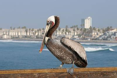 Photograph - Oceanside Pelican - 3  by Christy Pooschke